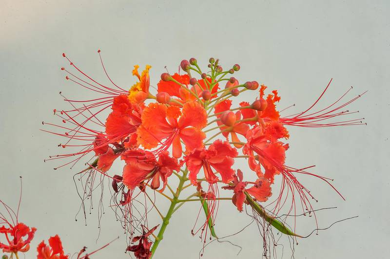 Peacock flower (Caesalpinia pulcherrima) on white background in a park at Al Intisar Street near a corner with Onaiza. Doha, Qatar, December 1, 2015