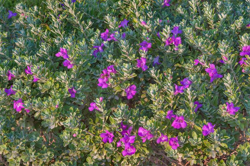 Cenizo (Leucophyllum frutescens) in a park at Al Intisar Street near a corner with Onaiza. Doha, Qatar, December 1, 2015