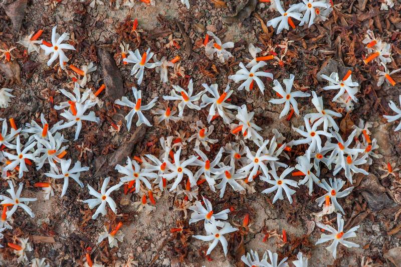 White flowers with orange bright stems of coral, or night jasmine (Nyctanthes arbor-tristis, Parijat) carpeting the ground in a park at Al Intisar Street near a corner with Onaiza. Doha, Qatar, December 3, 2015