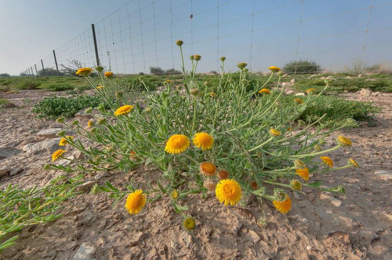 Blooming plant of Pulicaria guestii in roadside depression near a road from Al Shahaniya to Al Samriya north-east from camel race track. Lekhraib, Qatar, December 4, 2015