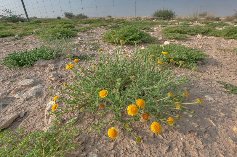 Plant of Pulicaria guestii with flowers in roadside depression near a road from Al Shahaniya to Al Samriya north-east from camel race track. Lekhraib, Qatar, December 4, 2015