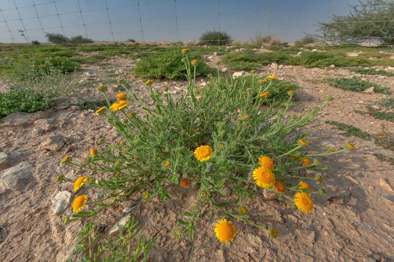 Flowering plant of Pulicaria guestii in roadside depression near a road from Al Shahaniya to Al Samriya north-east from camel race track. Lekhraib, Qatar, December 4, 2015