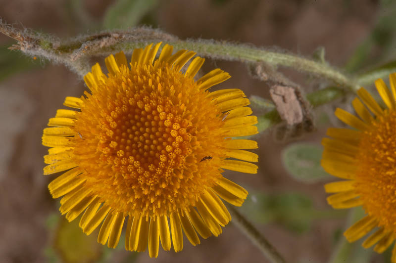 Yellow flower of Pulicaria guestii in roadside depression near a road from Al Shahaniya to Al Samriya north-east from camel race track. Lekhraib, Qatar, December 4, 2015