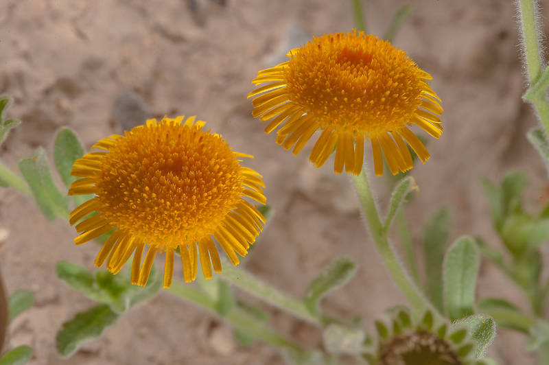 Yellow flowers of Pulicaria guestii in roadside depression near a road from Al Shahaniya to Al Samriya north-east from camel race track. Lekhraib, Qatar, December 4, 2015