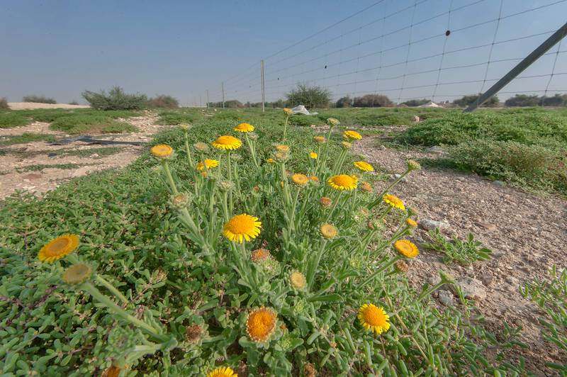 Plant of Pulicaria guestii near a fence in roadside depression near a road from Al Shahaniya to Al Samriya north-east from camel race track. Lekhraib, Qatar, December 4, 2015