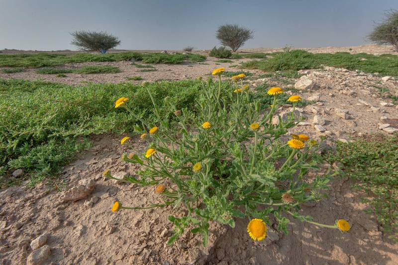 Plant of Pulicaria guestii with yellow flowers in roadside depression near a road from Al Shahaniya to Al Samriya north-east from camel race track. Lekhraib, Qatar, December 4, 2015