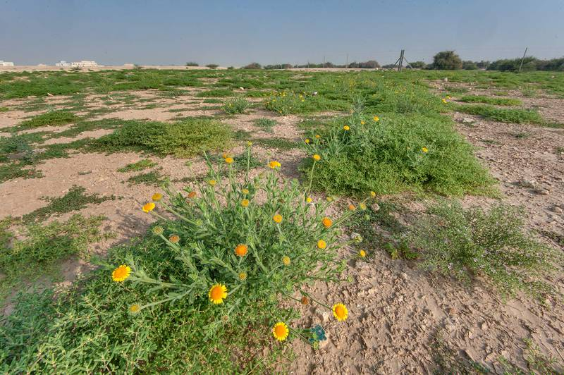 Pulicaria guestii among other green plants in roadside depression near a road from Al Shahaniya to Al Samriya north-east from camel race track. Lekhraib, Qatar, December 4, 2015
