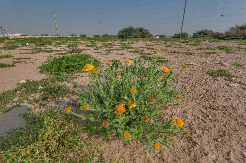 Blooming plant of Pulicaria guestii with Tetraena simplex in roadside depression near a road from Al Shahaniya to Al Samriya north-east from camel race track. Lekhraib, Qatar, December 4, 2015