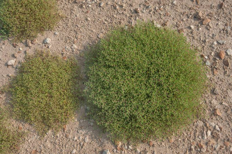 Cushions of Zygophyllum simplex (Tetraena simplex) in roadside depression near a road from Al Shahaniya to Al Samriya north-east from camel race track. Lekhraib, Qatar, December 4, 2015
