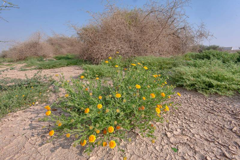 Blooming plant of Pulicaria guestii with Ziziphus nummularia eaten by caterpillars in background in roadside depression near a road from Al Shahaniya to Al Samriya north-east from camel race track. Lekhraib, Qatar, December 4, 2015