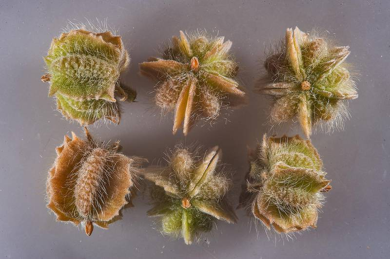 Fruits of Tribulus macropterus detached from the plant taken from a roadside of Dukhan Highway in Ash-Shahaniyah. Qatar, December 4, 2015