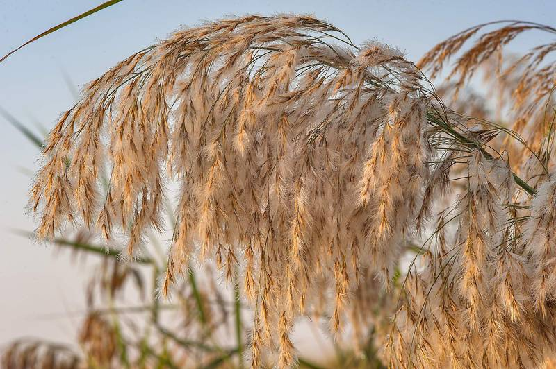 Soft inflorescence (seed head) of common reed grass (Phragmites australis) on Green Circles (center-pivot irrigation) in Irkhaya (Irkaya) Farms. Qatar, December 18, 2015