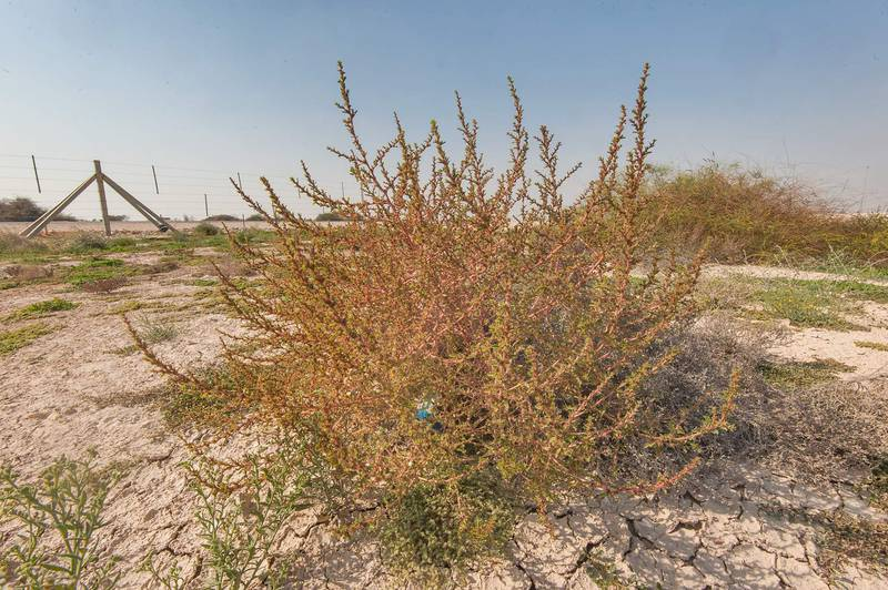 Reddish plant of common tumbleweed (Amaranthus albus) on roadside of Dukhan Highway near Ash-Shahaniyah. Qatar, December 18, 2015