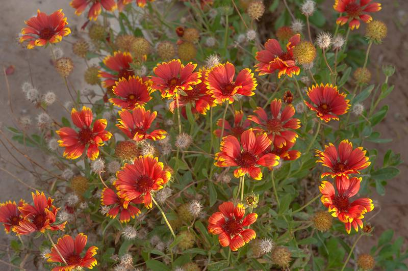 Firewheel flowers (Gaillardia pulchella) planted in Al Shamal City Park. Ruwais, Northern Qatar, December 19, 2015