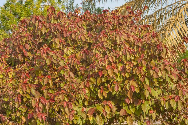 Acalypha wilkesiana plant with reddish leaves shaped as a tree in Al Shamal City Park. Ruwais, Northern Qatar, December 19, 2015
