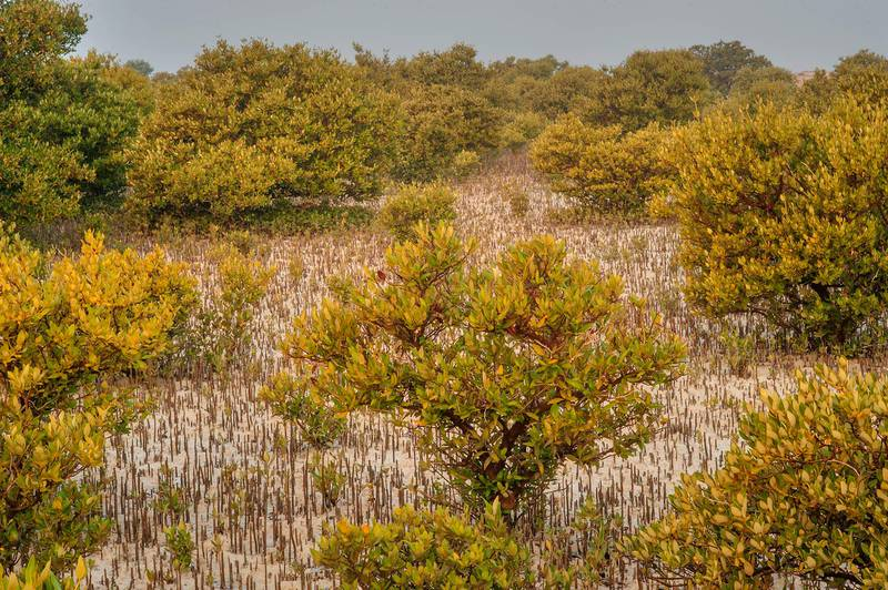 Mangrove trees (Avicennia marina) in salt marsh at low tide Purple Island (Jazirat Bin Ghanim). Al Khor, Qatar, December 20, 2015