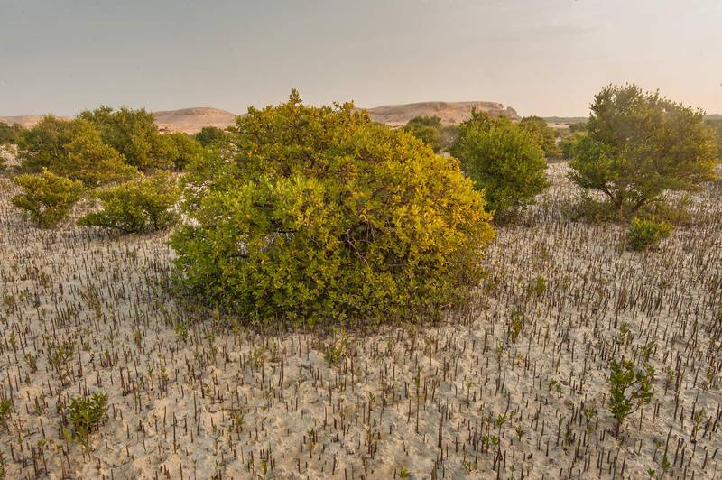Mangrove tree (Avicennia marina) with aerial roots (pneumatophores) on Purple Island (Jazirat Bin Ghanim). Al Khor, Qatar, December 20, 2015