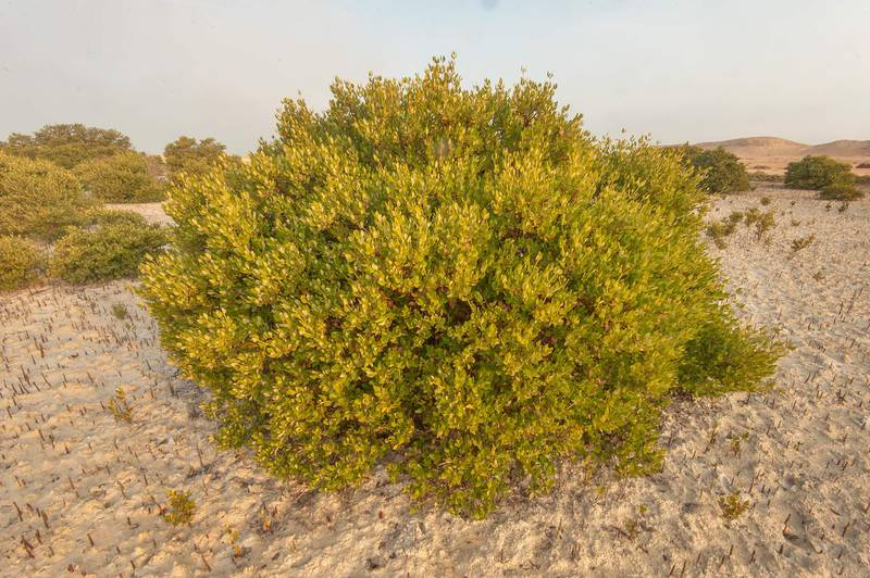 Fresh green mangrove tree (Avicennia marina) on Purple Island (Jazirat Bin Ghanim). Al Khor, Qatar, December 20, 2015