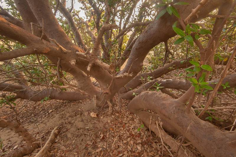 Tree trunks of mangrove (Avicennia marina) on Purple Island (Jazirat Bin Ghanim). Al Khor, Qatar, December 20, 2015