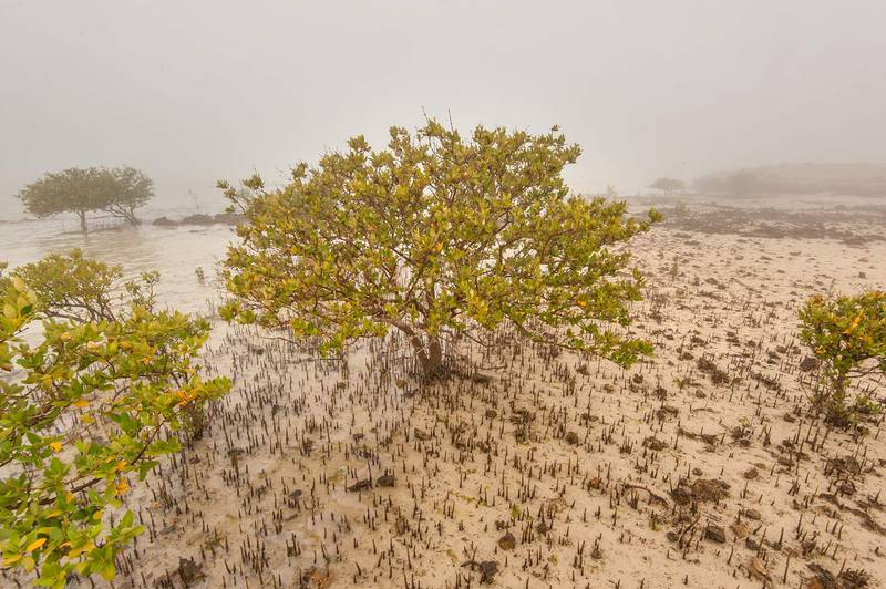 Mangrove tree (Avicennia marina) in fog on west side of Purple Island (Jazirat Bin Ghanim). Al Khor, Qatar, December 20, 2015