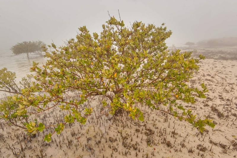 Mangrove tree (Avicennia marina) in fog near west cliffs of Purple Island (Jazirat Bin Ghanim). Al Khor, Qatar, December 20, 2015