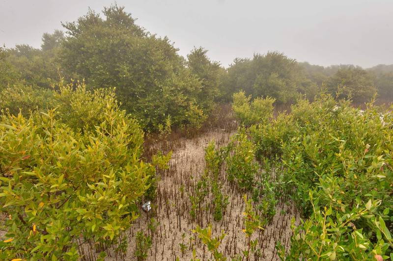 Mangrove forest (Avicennia marina) in fog on west side of Purple Island (Jazirat Bin Ghanim). Al Khor, Qatar, December 20, 2015