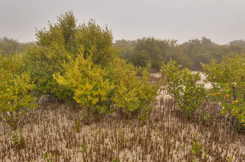 Mangrove forest (Avicennia marina) with aerial roots (pneumatophores) on west side of Purple Island (Jazirat Bin Ghanim). Al Khor, Qatar, December 20, 2015