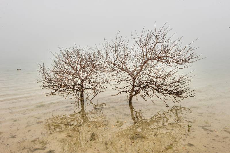 Mangrove tree skeletons (Avicennia marina) in shallow water near northern cliffs of Purple Island (Jazirat Bin Ghanim). Al Khor, Qatar, December 20, 2015