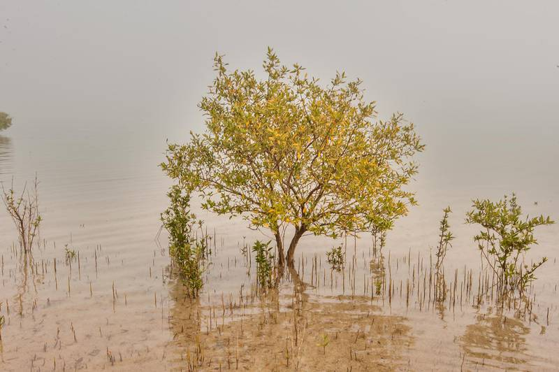 Mangrove tree (Avicennia marina) in shallow water near northern cliffs of Purple Island (Jazirat Bin Ghanim). Al Khor, Qatar, December 20, 2015
