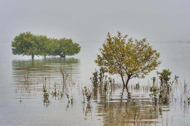 Group of mangrove trees (Avicennia marina) in shallow water near northern cliffs of Purple Island (Jazirat Bin Ghanim). Al Khor, Qatar, December 20, 2015