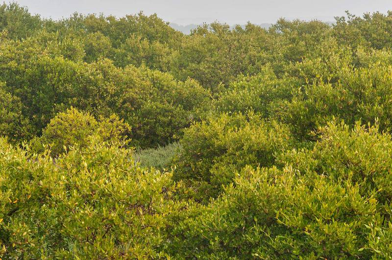 Mangrove forest (Avicennia marina) on north side of Purple Island (Jazirat Bin Ghanim). Al Khor, Qatar, December 20, 2015