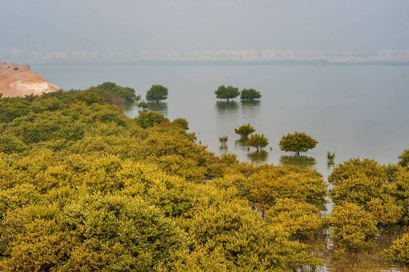 Mangrove forest (Avicennia marina) near northern tip of Purple Island (Jazirat Bin Ghanim). Al Khor, Qatar, December 20, 2015