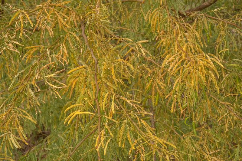 Yellow fall foliage of mesquite (Prosopis juliflora, Prosopis chilensis, ironwood, local names meskeet, ghweif, al ghaf) east from Al Jebail water treatment plant. Al Khor, Qatar, December 20, 2015