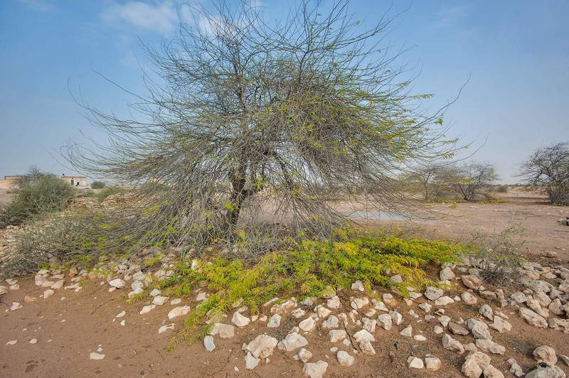 Mesquite tree (Prosopis juliflora, Prosopis chilensis) in Ain Mohamed Fort near Al Areesh Road north from Zubara. Northern Qatar, December 26, 2015