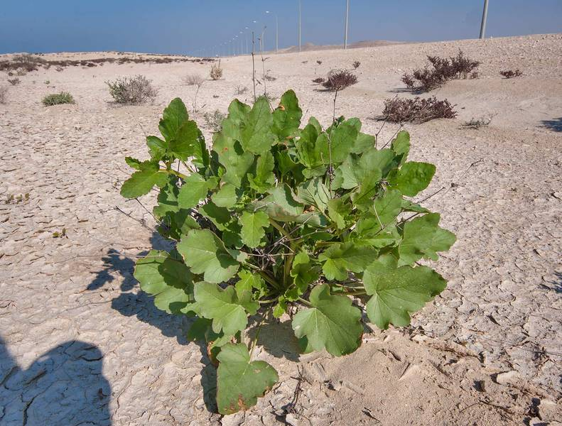 Plant of storkbill (Erodium glaucophyllum) on roadside in Dukhan. Qatar, January 15, 2016
