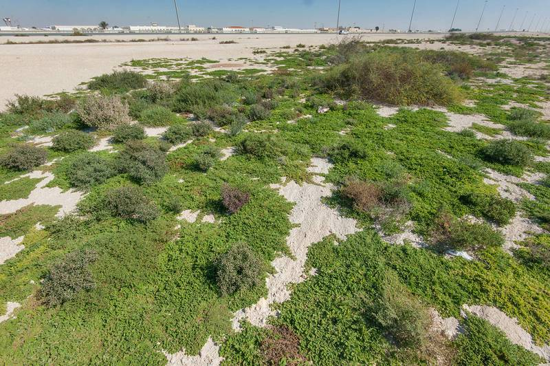 Large mats of purslane-leaved aizoon (Aizoon canariense) in roadside depression near Dukhan Highway. Qatar, January 15, 2016