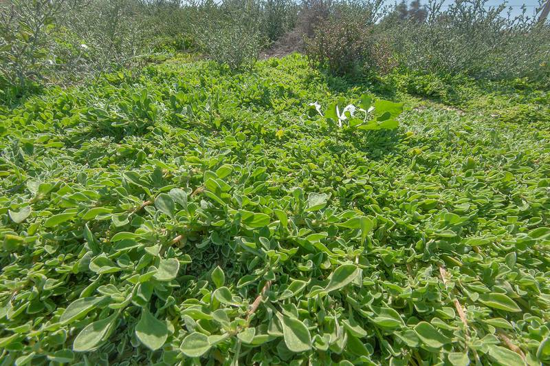 Dense mat of purslane-leaved aizoon (Aizoon canariense) in roadside depression near Dukhan Highway near Ash-Shahaniyah. Qatar, January 15, 2016