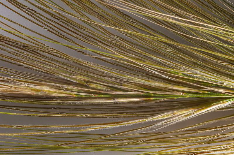 Spike of Spear grass (Stipa capensis) taken from roadside depression of Dukhan Highway. Qatar, January 15, 2016