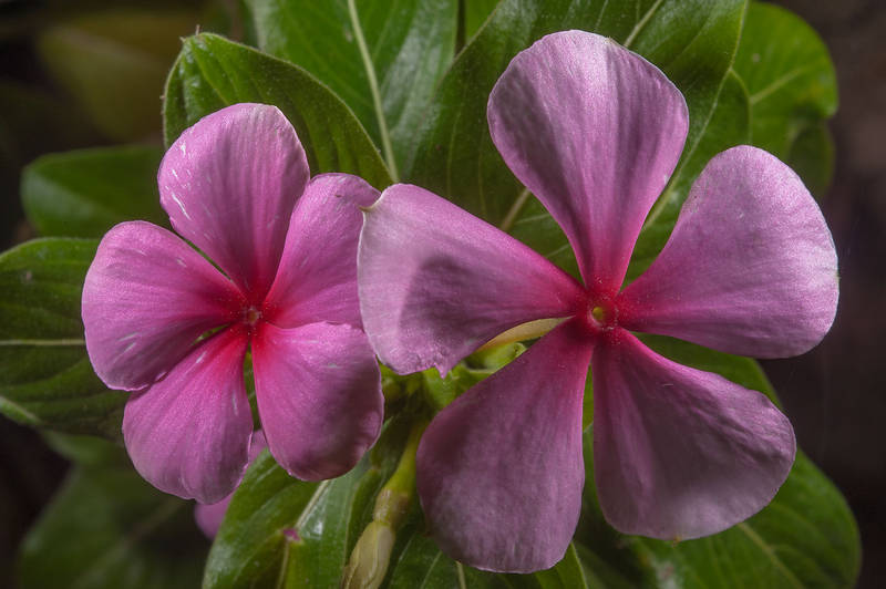 Flower of Vinca Vitesse Rose (Catharanthus roseus) in Al Shamal City Park. Ruwais, Northern Qatar, January 16, 2016