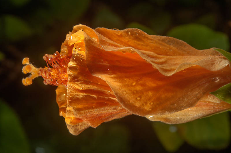 Close up of orange half opened flower of China rose (Hibiscus rosa-sinensis) in Al Shamal City Park. Ruwais, Northern Qatar, January 16, 2016