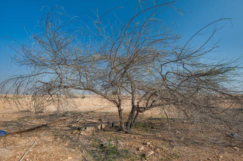 Dry mesquite tree (Prosopis juliflora)(?) near a road to Zubara. North-western Qatar, January 16, 2016