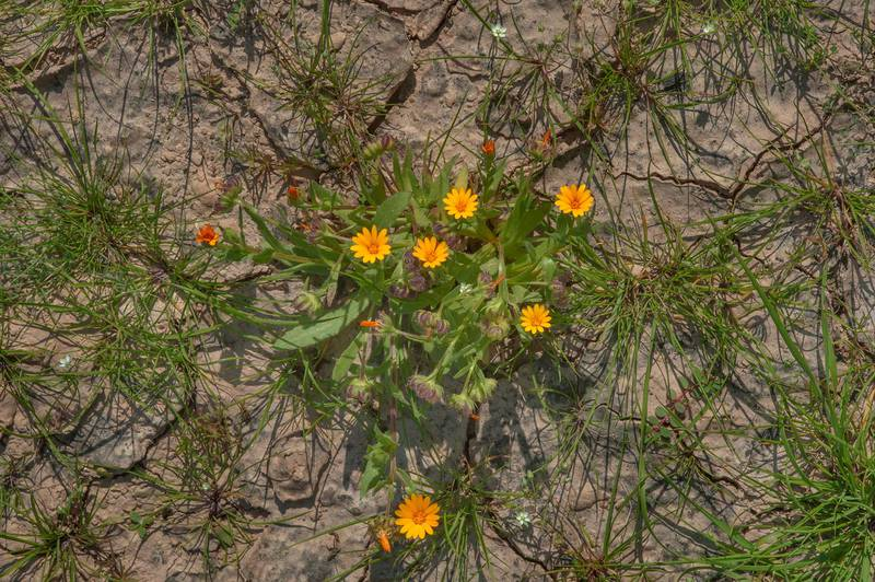 Field Marigold (Calendula arvensis, Calendula micrantha, local name hanwa) on a roadside near Zubara. North-western Qatar, January 16, 2016