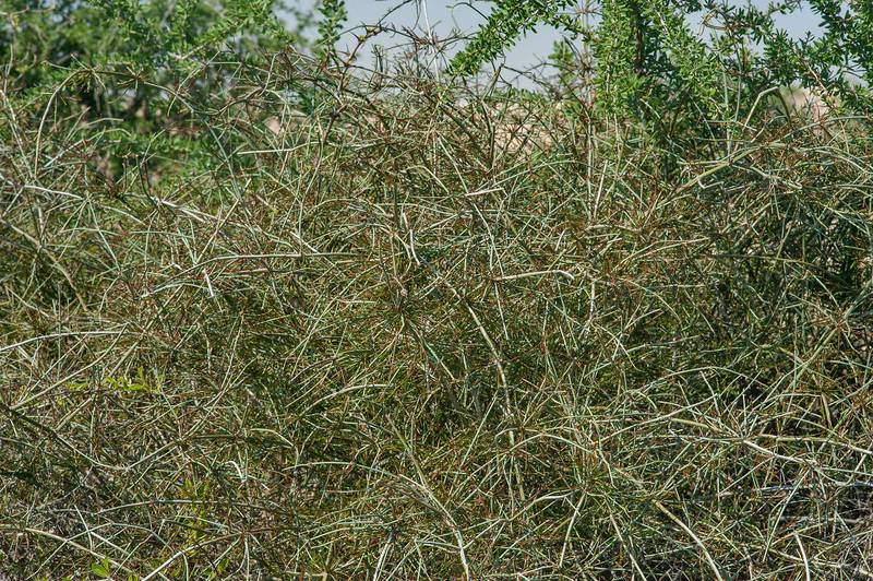 Shrubby Horsetail (Ephedra foliata, Ephedra ciliata, local name alanda) growing on bushes of Ziziphus nummularia on roadside of a road to Zubara in area of Al Magdah farms. Northern Qatar, January 16, 2016