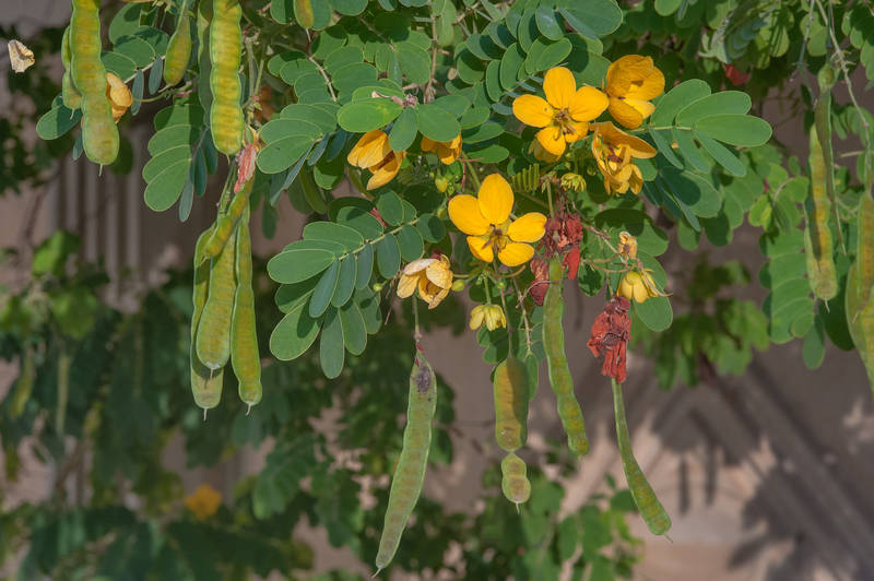 Golden Senna (Glaucous Cassia, Senna surattensis) on Al Shatt Street in Onaiza area. Doha, Qatar, January 18, 2016