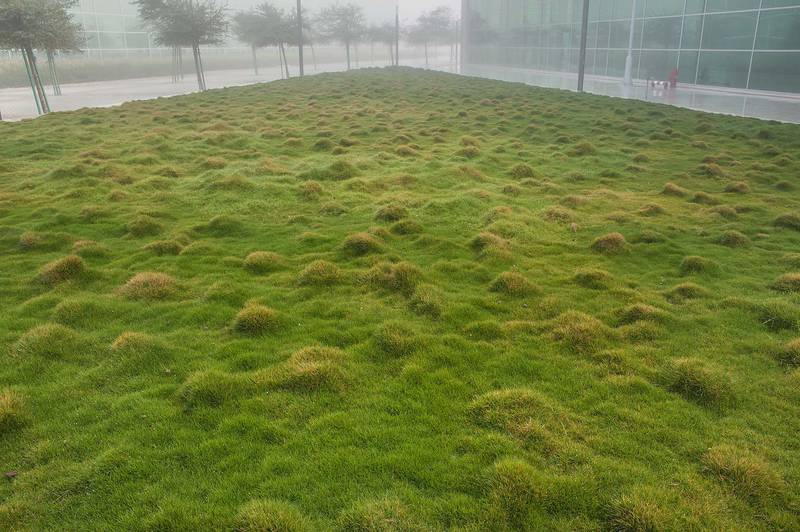 Grassy triangle with Korean velvet grass (Zoysia tenuifolia) in HBKU Research Complex in Education City. Doha, Qatar, January 19, 2016