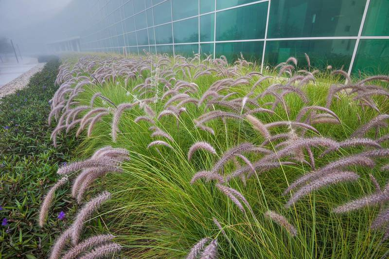 Fountain grass (Pennisetum setaceum) planted near HBKU Research Complex in Education City. Doha, Qatar, January 20, 2016