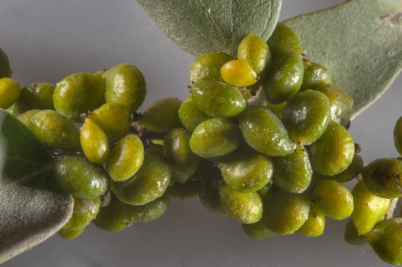 Masses of green berry like galls on a branch of Cocculus pendulus taken from a roadside depression north from Shekhaniya. Qatar, January 22, 2016
