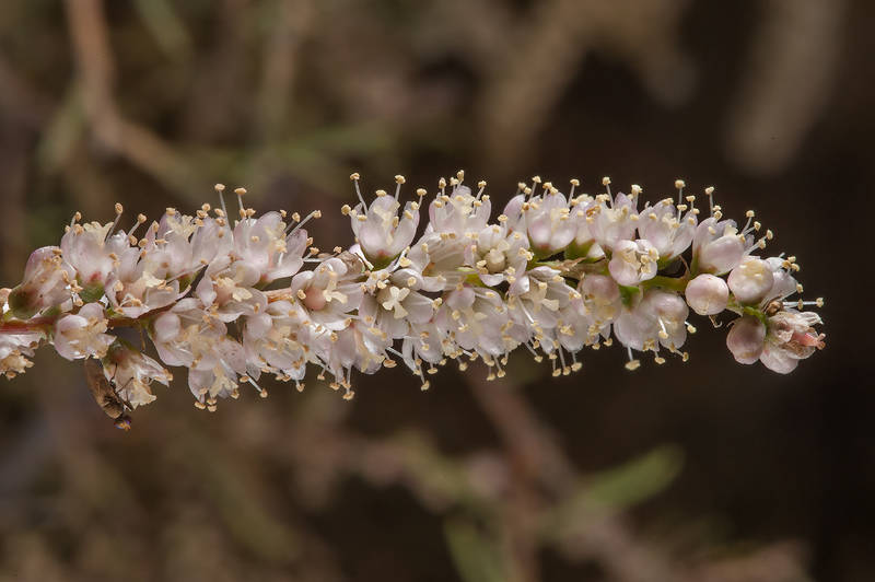 Tamarisk (Tamarix aphylla) in a roadside depression east from Al Jebail water treatment plant. Al Khor, Qatar, January 23, 2016