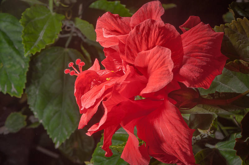Red flower of China rose (Hibiscus rosa-sinensis) planted in gardens of Sheraton Hotel in West Bay. Doha, Qatar, January 25, 2016