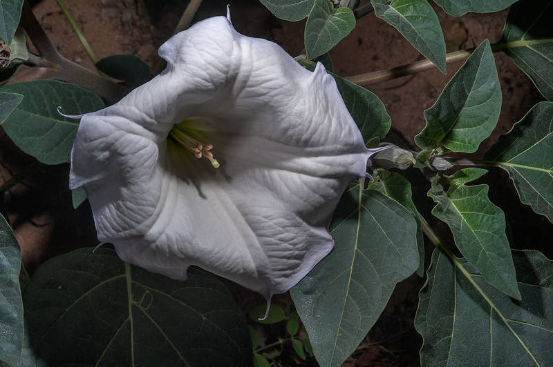 Moonflower (Datura innoxia) on waste ground on Al Shatt Street in Onaiza area. Doha, Qatar, January 26, 2016